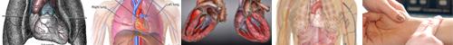 Srdce, senzibilita a stavy klinické smrti